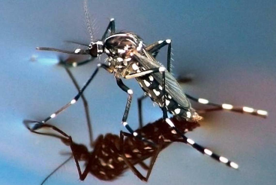 Por qué el mosquito tigre ahora es objeto de monitoreo permanente en Argentina | Entrelíneas.info