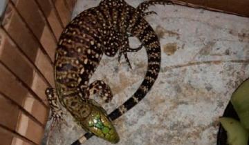 Imagen de Azul: escucharon ruido dentro de una encomienda y descubrieron un lagarto