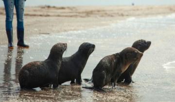 Imagen de Cuatro lobos marinos fueron devueltos a su hábitat natural