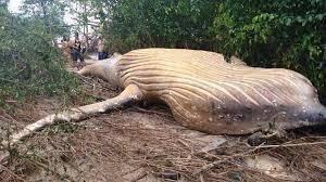 Imagen de Las hipótesis de por qué apareció muerta una ballena en medio del Amazonas