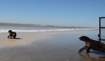 Imagen de Video: liberaron a cuatro lobos marinos que habían sido rescatados en Quilmes y en La Costa