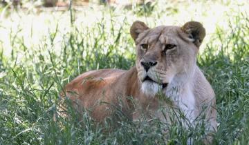Imagen de Liberarán a dos leones del zoo de La Plata