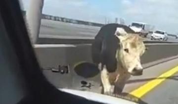 Imagen de Pánico por una vaca suelta que se paseó por la Autopista Buenos Aires-La Plata
