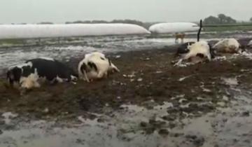 Imagen de Un rayo mató más de veinte vacas lecheras en Santa Fe