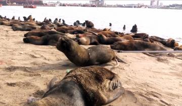 Imagen de El desesperante momento en el que un lobo marino intenta sacarse un plástico del cuello