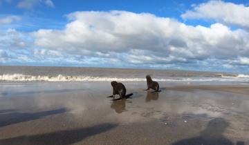 Imagen de San Clemente del Tuyú: devolvieron al mar a cuatro lobos marinos