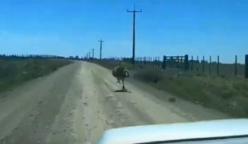 Imagen de Sorpresa en un camino entre Tandil y Rauch: apareció un ñandú a 55 km/h