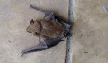 Imagen de Chascomús: alerta por la aparición de murciélagos