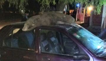 Imagen de Una vecina de San Clemente encontró un lobo marino jugando en el capot de su auto