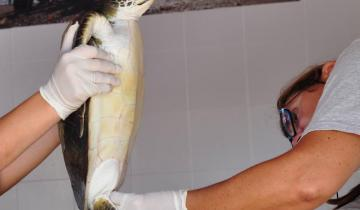 Imagen de Una tortuga verde será regresada al mar en San Bernardo