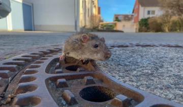 Imagen de Una rata quedó atrapada en una alcantarilla y la rescataron