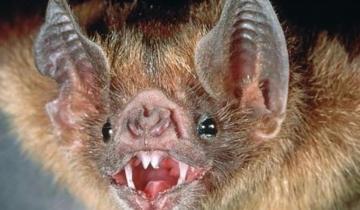 Imagen de Hay alerta en la región por murciélagos con rabia