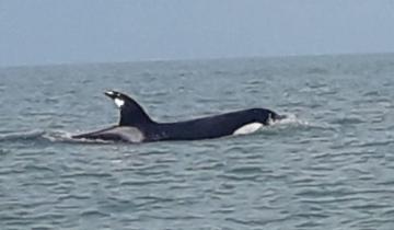 Imagen de Monte Hermoso: apareció una orca a pocos metros de la playa