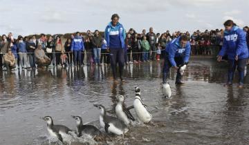 Imagen de Mirá el emocionante video cuando liberan a siete pingüinos en San Clemente