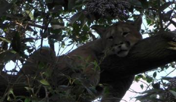 Imagen de Gran operativo en Maipú ¡para bajar a un puma de un árbol!