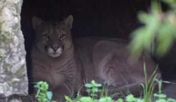 Imagen de Mirá cómo liberaron en una reserva natural al puma rescatado en Maipú
