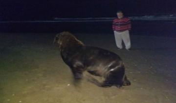 Imagen de Apareció un lobo marino en la costa de San Bernardo