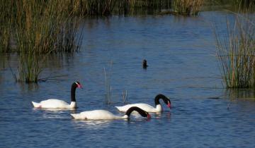 Imagen de Naturaleza en cuarentena: volvieron los cisnes de cuello negro a la laguna de Chascomús