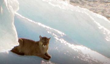 Imagen de Sorpresa: turistas grabaron a un puma recostado sobre un iceberg en Santa Cruz