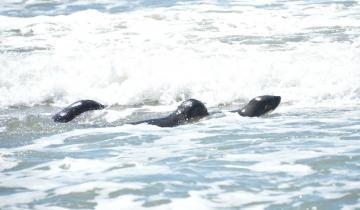 Imagen de ¡Historia feliz!: Volvió al mar un lobo marino rescatado por Fundación Mundo Marino