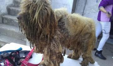Imagen de Mirá el estado de abandono y maltrato animal de 13 caniches que fueron rescatados de un criadero clandestino