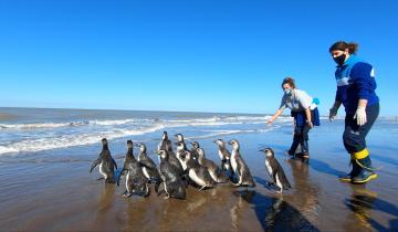 Imagen de San Clemente: regresaron al mar 14 pingüinos magallánicos para retomar su viaje migratorio