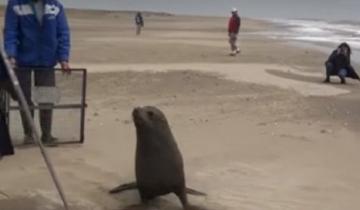 Imagen de Devolvieron al mar al lobo marino que apareció arriba de un auto en San Clemente