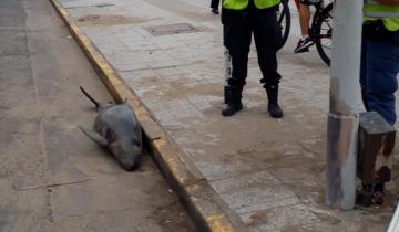 Imagen de Mar del Plata: apareció un delfín muerto sobre una vereda a 200 metros de la playa