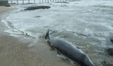 Imagen de Encontraron un raro delfín muerto en la costa de Miramar