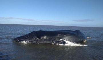Imagen de Partido de La Costa: una ballena jorobada varó en la zona de la bahía en San Clemente