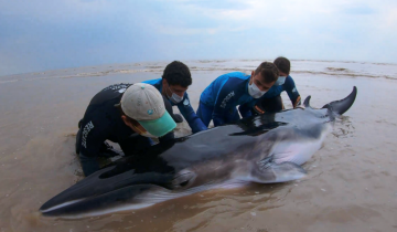 Imagen de Regresan al mar a una ballena Minke varada en San Clemente