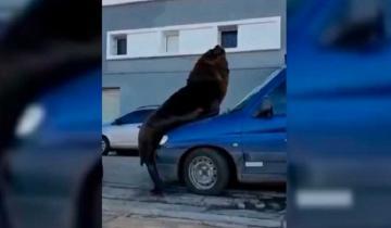 Imagen de Se hizo viral: un video captó el momento en que un lobo marino se subió a un auto en Mar del Plata