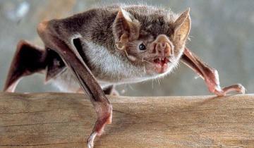 Imagen de Confirmaron un caso de murciélago con rabia en General Guido