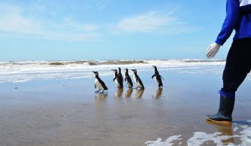 Imagen de La Fundación Mundo Marino rehabilitó y devolvió al mar a 7 pingüinos