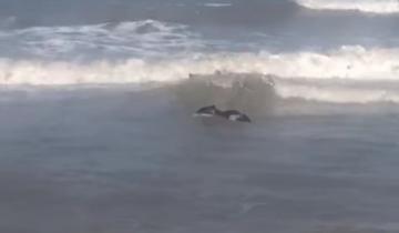Imagen de Un carpincho se convirtió en un atractivo visitante de la Playa Nueva Atlantis