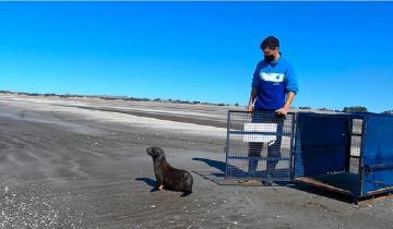 Imagen de San Clemente del Tuyú: regresaron al mar un lobo marino que había aparecido en un arroyo de Tigre
