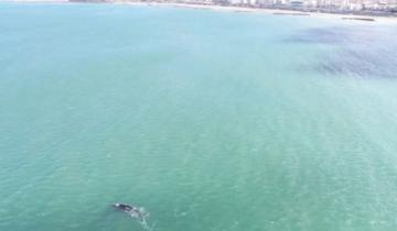 Imagen de Video: otro espectáculo de ballenas frente a la costa marplatense