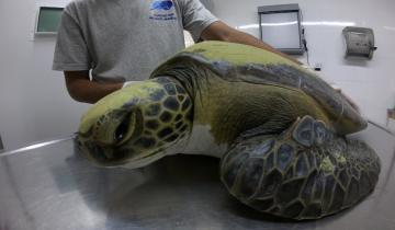 Imagen de Mundo Marino rescató una tortuga y de su interior salió gran cantidad de basura