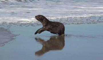 Imagen de De Dock Sud a la Costa Atlántica: así regresaba al mar un lobo marino rescatado