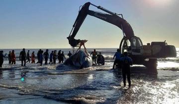 Imagen de Otra ballena jorobada varó en el Partido de La Costa y fue devuelta al mar