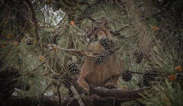 Imagen de Alarma en Ostende: apareció un puma trepado a un árbol