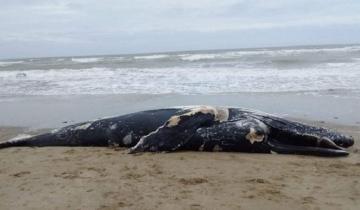 Imagen de Apareció una ballena sin vida en las costas de Mar Chiquita