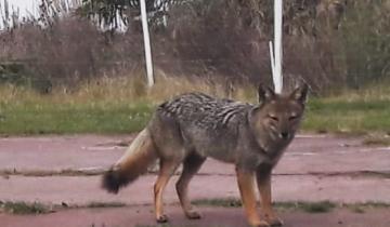 Imagen de Insólito: apareció un zorro en el patio de una casa en Villa Gesell