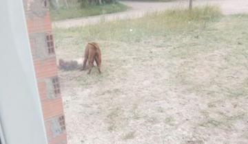 Imagen de Un pitbull atacó salvajemente a otro perro en Mar del Tuyú y lo mató