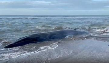 Imagen de Murió la ballena que estaba varada en Costa Esmeralda
