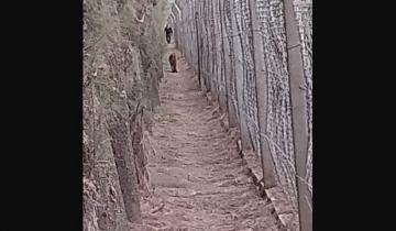 Imagen de Capturan al puma que apareció en un barrio privado: investigan si estaba en cautiverio