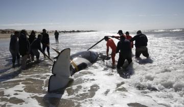 Imagen de Rescataron a siete ballenas que estaban encalladas entre Santa Clara del Mar y Mar de Cobo