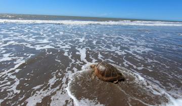 Imagen de San Clemente: regresaron al mar una tortuga cabezona de 59 kilos que quedó atrapada en redes de pesca
