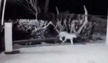 Imagen de Apareció un puma en Miramar y quedó registrado en cámaras de seguridad
