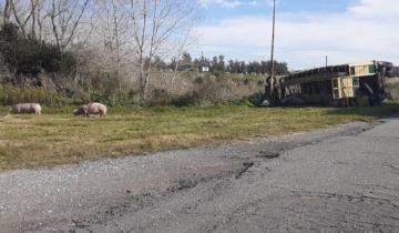 Imagen de Volcó un camión en la Ruta 2: los cerdos que transportaba quedaron sueltos en la zona